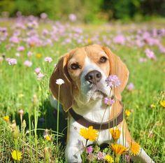 Beagle, Dogs, Animals, Animales, Animaux, Beagle Hound, Pet Dogs, Doggies, Animal