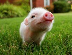 Fluffy piglet