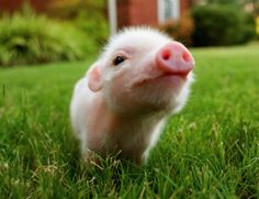 pig sniffing