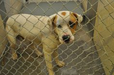 TO BE DESTROYED 11/22/13 135485 SWANSON Male Hound Mix  https://fundrazr.com/campaigns/fdlf3/ab/61Bmy0?  These animals are at Clayton County Animal Control at 1396 Government Circle Jonesboro, GA 30236. For help with rescue coordination, please email jmpartnersccac@gmail.com, ccacpartners@gmail.com, ansearcher@gmail.com https://www.facebook.com/photo.php?fbid=682828621736177&set=a.511463058872735.129181.339511346067908&type=3&theater