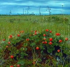 Cloudberries raise emotions.  They grow on swamps and thanks to the everyman's rights anyone can pick them. Hard work but pays quite well if the harvest is good.