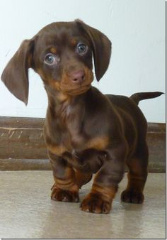 Dachshund Puppies are so cute. I have a long-haired black-tan dachshund. They're sweet, but yippy! Animals And Pets, Baby Animals, Funny Animals, Cute Animals, Animals Planet, Wild Animals, Dachshund Love, Daschund, Brown Dachshund