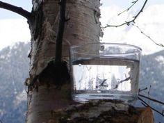 Sève de bouleau fraîche des Alpes Holiste - Feminin Bio