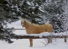 Winter Scene ~ Palomino In Maine Snow. cecil-maine.jpg