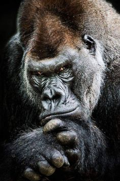 Western Lowland Gorilla II by Abeselom Zerit on Silverback male Nature Animals, Animals And Pets, Funny Animals, Cute Animals, Beautiful Creatures, Animals Beautiful, Regard Animal, Western Lowland Gorilla, Gorilla Tattoo