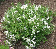 Nikko Deutzia Shrub   Botanical Name: Deutzia gracilis 'Nikko'