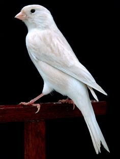 white isabel