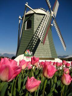 Windmill at display garden at RoozenGaarde (Mount Vernon, WA)  www.tulips.com