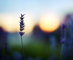 lavander & sunset