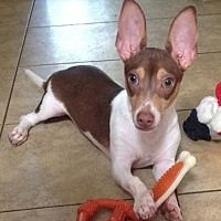 Orlando Fl Chihuahua Meet Tinkerbell 3m A Pet For Adoption Pet Adoption Pets Cute Animals