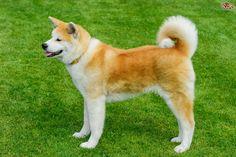 Akita Dog Breed Information, Facts, Photos, Care | Pets4Homes  Japanese Akita