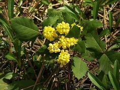 Mahonia repens (Creeping Mahonia)   Water Use:  Low   Size:  1'- 3' x 1.5'- 3'   Sun:  Part Sun to Shade   CA Native:  Yes        Deer Resistant:  Rarely damaged   Wildlife Value:  Berries are Food for Birds