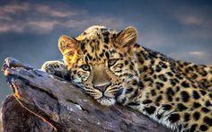 leopard screensavers backgrounds (Ekewaka Ross 1920x1200)
