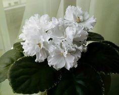 Ян - Морозко . Белые цветы на пестролистной розетке  #продаюфиалки#продаюцветы#фиалкисортовые#сенполии#цветы#комнатныецветы