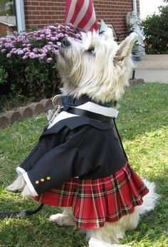 Not a naughty scottie but a cute Terrier