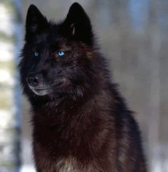 Anna is a very rare Omega wolf, this means that she has a calming effect on other wolves as long as she is calm. Omega wolves are to be cherished and ...