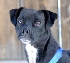 Paco is an adoptable Terrier Dog in Evans, CO. All adoptions include: Spay/neuter If the animal is not yet spayed or neutered: Every animal will be spayed or neutered prior to going home with adopter....