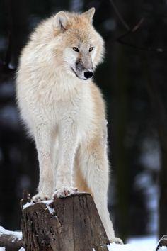 Polarwolf by Helmut Lager**