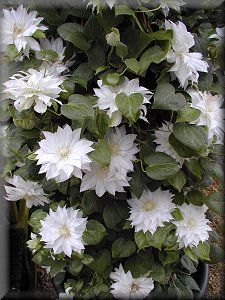 ~Clematis Arctic Queen - Another that tolerates light shade.