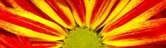 Gazania Daisy Flower Header