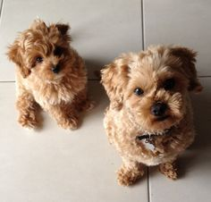 Red toy cavoodle Pocket Puppies in their New Homes
