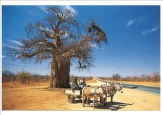 Photograph of baobab tree with donkey and scotch cart in Rhodesia Black Tea Leaves, South Afrika, Baobab Tree, Art Pictures, Art Pics, African Art, Exotic, Country, Donkeys