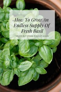 Gardening Herbs Learn How To Grow An Endless Supply Of Basil - This how to propagate basil video will teach you all the tips and tricks to ensure that you have an endless supply of basil from one plant. Gardening For Beginners, Gardening Tips, Gardening Supplies, Culture D'herbes, Potager Bio, Basil Plant, Cucumber Plant, Pot Jardin, Home Vegetable Garden