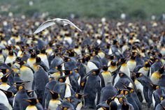 Snowy (Pale-faced) Sheathbill (Chionis albus) flies over a crowd of King Penguins.  They cohabitate with other birds & animals in the Antarctic: Penguins, skuas, sea lions, gulls, shags, ...
