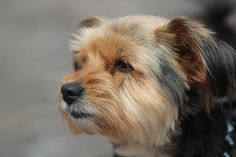 Amazing longest living dog breeds. Yorkshire Terrier  dogs. Riley the Yorkie! love her!Taylor: This is by far the cutest and most gorgeous Yorkie I have EVER seen!