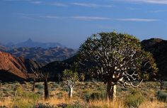 Scene with quiver trees in |Ai-|Ais Richtersveld Transfrontier Park, South Africa