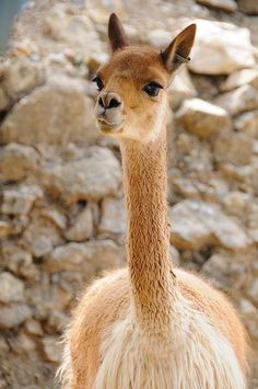 A vicuña, all alpacas descend from these