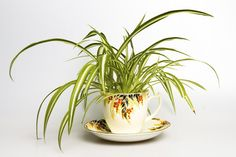 Spider Plant Medium light, moist soil, and comfortable room temperatures will keep them alive in your dwelling. Is it safe for cats and dogs? The ASPCA says yes.
