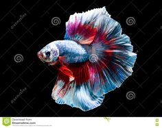 Why can't you find Beta fish like this in the pet store?