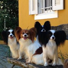 Papillon - This deceptively cute, butterfly-eared dog is smarter, tougher, and stronger than it appears (it's like the bionic dog). Description from pinterest.com. I searched for this on bing.com/images