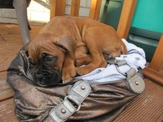 """Boxer puppy, """"you're not leaving without me..."""""""
