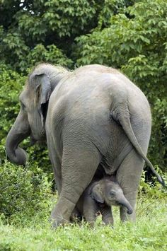 Awwwww, I've read that mother elephants keep track of their babies with their tails but they always show a picture of the baby following the Mama in a row w/all the other ellies. This way is better!