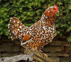 Beautiful little speckled chicken. By Jeremy City Chicken, Chicken Chick, Diy Chicken Coop, Chicken Eggs, Beautiful Chickens, Beautiful Birds, Pretty Birds, Keeping Chickens, Raising Chickens
