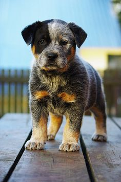 Australian Cattle Dog pup, aka Blue Heeler - I think these are beautiful dogs! Cute Cats And Dogs, I Love Dogs, Animals And Pets, Baby Animals, Cute Animals, Strange Animals, Healthiest Dog Breeds, Tier Fotos, Australian Cattle Dog