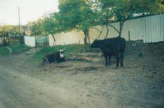 Boi odihnindu-se sub un corcoduș