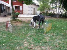 Uska chez le lapin et les cochons d'inde