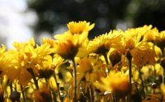 WALLPAPERS HD: Sun Flowers Belt