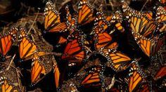 Farfalla monarca, la migrazione