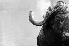 Monochrome Monday. _ _ _ _ _ _ _ _ _ _ _ _ _ _ _ _ _ _ _ _ _ @elephantplainsgamelodge 🌍- Sabi Sand Wildtuin, South Africa  _ _ _ _ _ _ _ _ _ _ _ _ _ _ _ _ _ _ _ _ _ _ _ Grassland Habitat, Game Lodge, Habitats, South Africa, Monochrome, Elephant, Posts, Sands