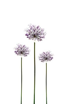 Botanical Flower Photograph Allium Purple by galleryzooart on Etsy, $70.00