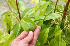 Plant Leaves, Lime, Fruit, Plants, Limes, Plant, Planets, Key Lime