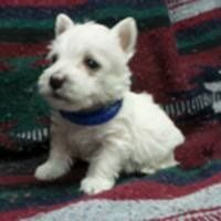Puppies For Sale West Highland White Terrier Westie West Highland White Terriers Westies F Categor In 2020 Westie Puppies For Sale Westie Dogs Westie Puppies