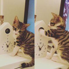 #cat #cats #meow #kat #kitty #kittenhood #nsx #kit #kitten #ferrari #キジトラ #キジシロ #仔猫 #ニャンズ #猫 #ねこ #ネコ # #tabbynsx.na12016/03/16 07:15:38