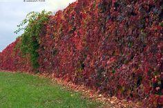 Roikkuva puutarha - köynnöskasvi villiviini Parthenocissus punaiset lehdet puutarha ruska vihreä pensas nurmikko muuri peittää syksy lehti aita kumpare e
