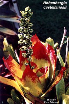 Hohenbergia castellanosii