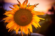 Sunflower with a . by Catalin Petre - Photo 1000643743 / Activities, Landscape, Plants, Photography, Scenery, Photograph, Fotografie, Photoshoot, Plant